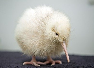 The kiwi is the national symbol for New Zealand.