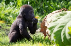 Aw, it's baby (gorilla's) first birthday
