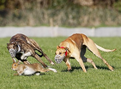 Hare coursing at Clonmel Racecourse last month