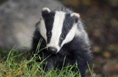 Three in court over badger baiting
