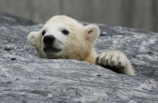 It's Friday, so here's a slideshow of baby polar bears from around the world