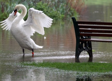 A Swan stretches it's wings as it takes advantage of flooded parkland at St Neots, in Cambridgeshire