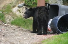 Bears break into sweet shop, cars searching for food amid US drought