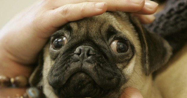 It's Friday so here's a slideshow of pugs from around the world