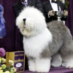 Swagger, an Old English Sheep Dog, is posed for photographs after winning the hearding group (AP Photo/Frank Franklin II)