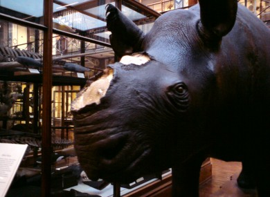 The hornless rhino on display at the Natural History Museum.