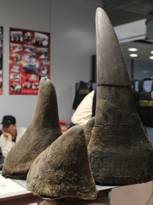 Rhino horns like these ones being smuggled in Thailand in January have been stolen from National Museum Archives.