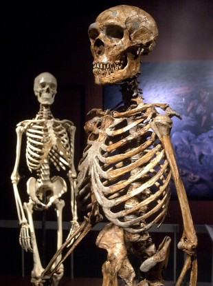 A reconstructed Neanderthal skeleton, right, is contrasted to a modern human version of a skeleton in a display in 2003 of some of the finds from the Atapuerca caves.
