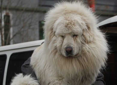 A Tibetan mastiff. Lion-like... sort of.