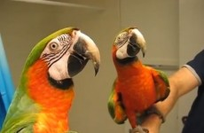 WATCH: Talking macaw tells noisy bird to shhhh