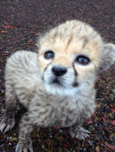 Fota Wildlife Park celebrates birth of baby cheetah