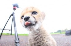 Watch the newborn cheetah cub exploring at Fota Wildlife Park