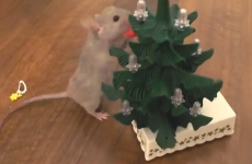 This mouse decorating a tiny tree is more prepared for Christmas than you are